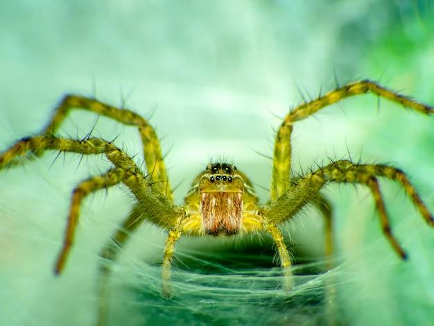 Lynx spider hunter (nome científico oxyopes javanus throll oxyopes linestipes Foto Premium