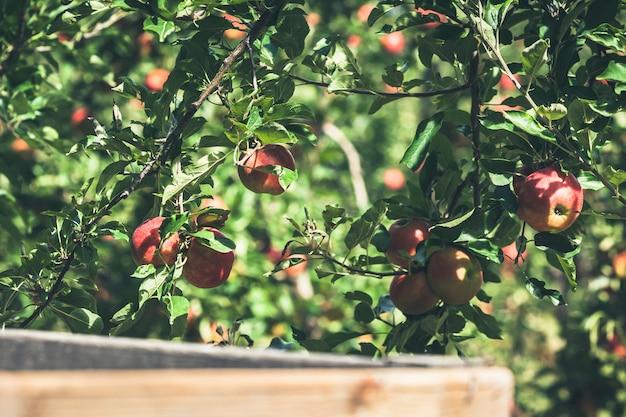 Maçã jardim cheio de frutas vermelhas riped Foto Premium