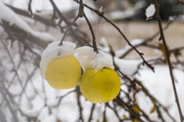Maçã pesa nos galhos na neve, início do inverno Foto gratuita
