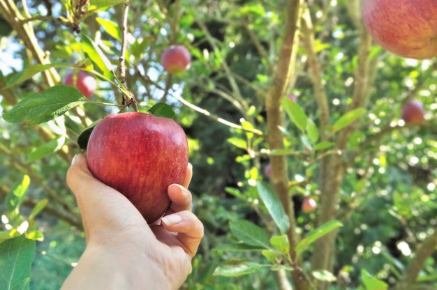 Maçã vermelha, colhendo na árvore com a mão da mulher Foto Premium