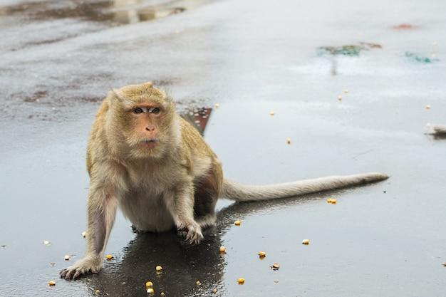 Macaco-macaco esperando sementes de milho de turistas. Foto gratuita