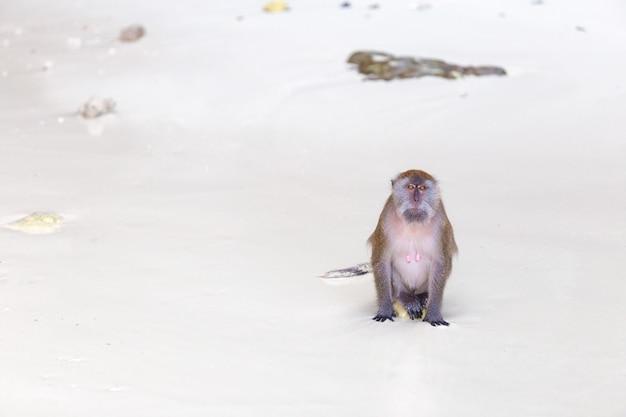 Macaco na praia Foto Premium