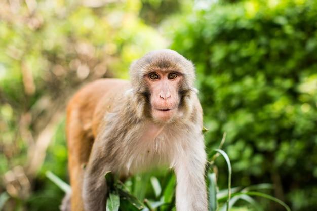 Macaco rhesus engraçado na floresta com um fundo desfocado natural Foto gratuita