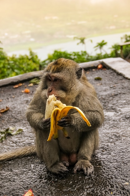 Macaco sentado na estrada e come banana. macaco está comendo na rua. Foto Premium