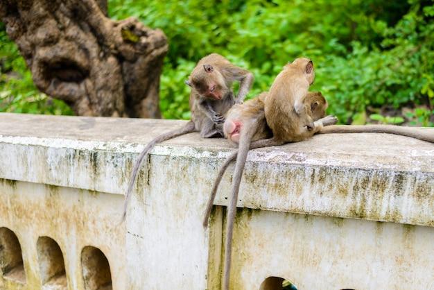 Macacos (caranguejo que comem o macaque) que preparam um outro. Foto Premium