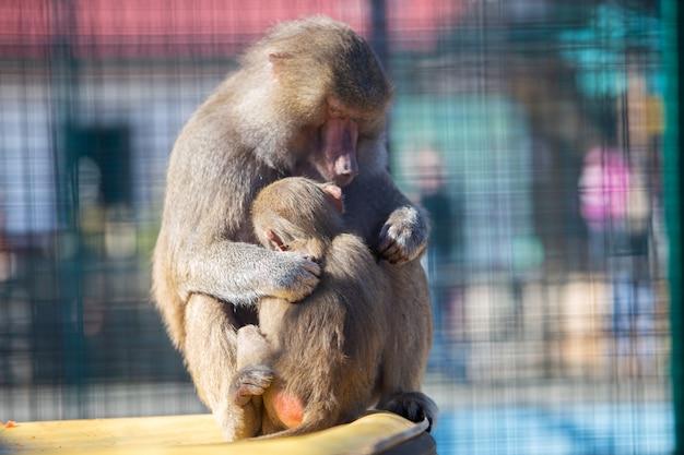 Macacos de babuíno em um zoológico em dia ensolarado. Foto Premium