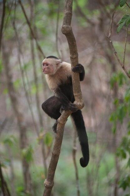 Macacos-prego-de-garganta-branca, sentados nas selvas da costa rica Foto Premium