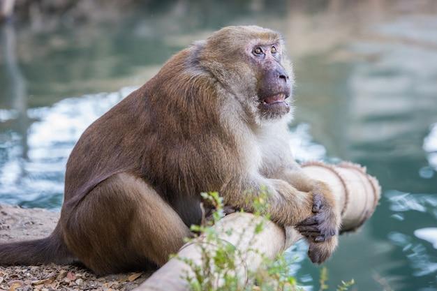 Macacos selvagens, babuínos na tailândia Foto Premium
