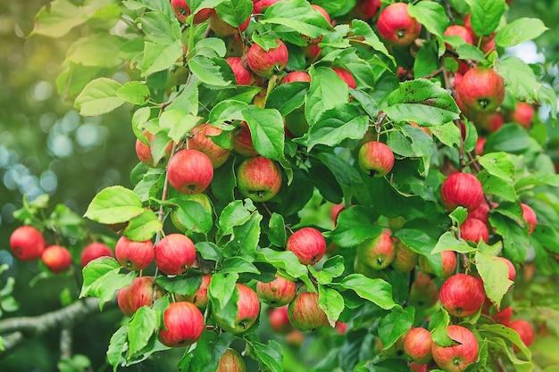 Maçãs em um galho de uma árvore. pomar de macieiras Foto Premium