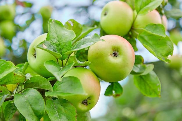 Maçãs verdes frescas, naturais, orgânicas e suculentas, maçãs em um galho de uma árvore Foto Premium