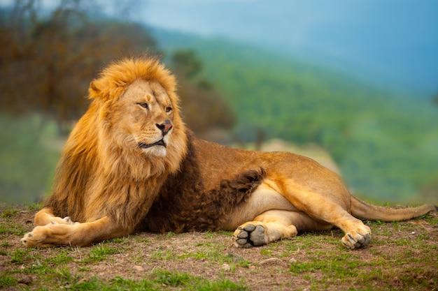 Macho leão, tendo, um, descanso, mentindo, ligado, a, montanha Foto Premium