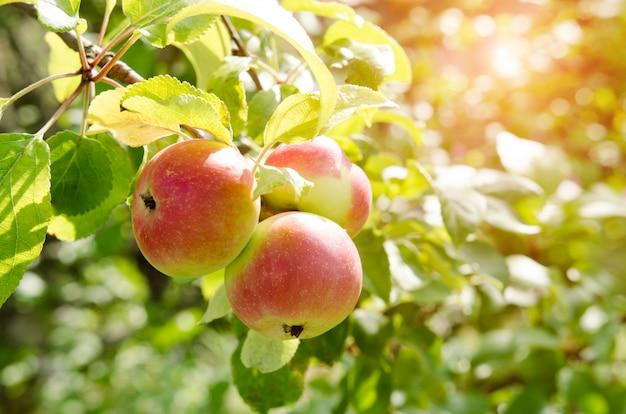 Macieira com maçãs muito frescas Foto Premium