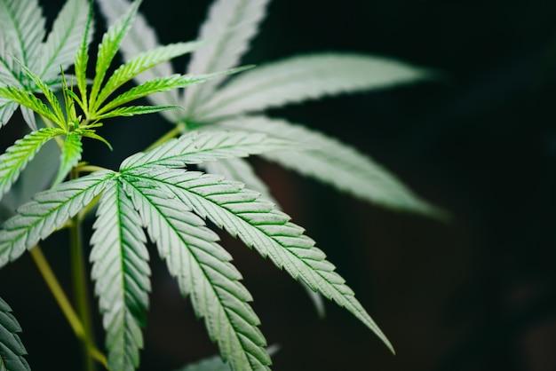 Maconha deixa a planta cannabis árvore crescendo em fundo escuro Foto Premium