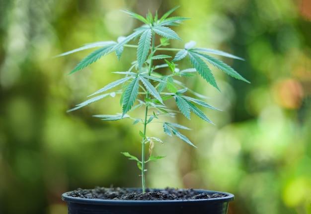 Maconha deixa a planta de cannabis árvore crescendo em pote na natureza fundo verde Foto Premium