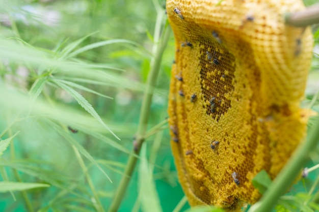 Maconha e favo de mel. Foto gratuita