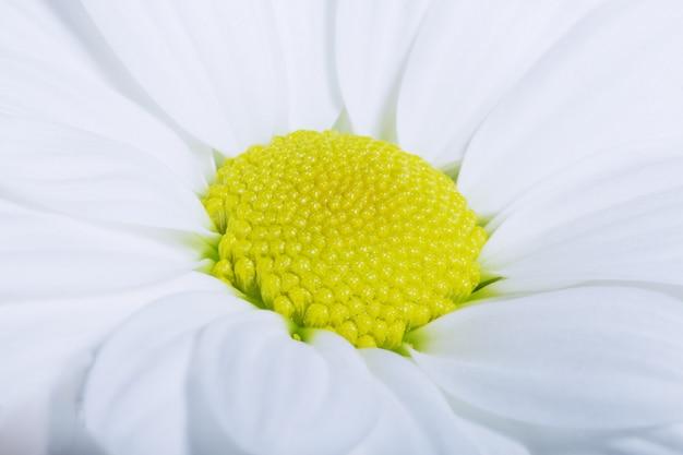 Macro de camomila encantador, foco suave. Foto Premium