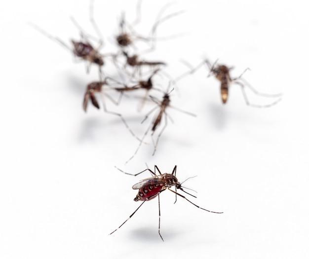 Macro de mosquito chupando sangue isolado no fundo branco Foto Premium