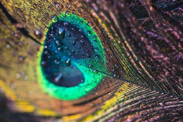 Macro de pluma de pavão com gotas de água Foto Premium