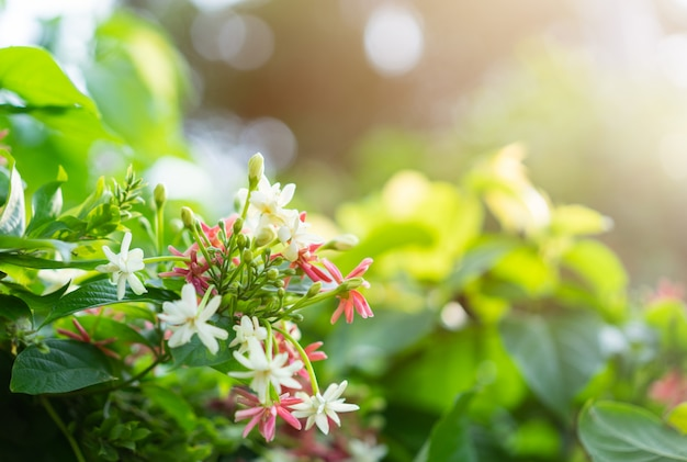 Madressilva chinesa rosa e branca com luz solar Foto Premium