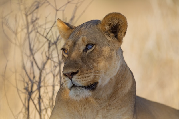 Magnífica leoa perto das árvores Foto gratuita