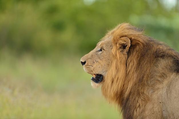 Magnífico leão no meio de um campo coberto de grama verde Foto gratuita