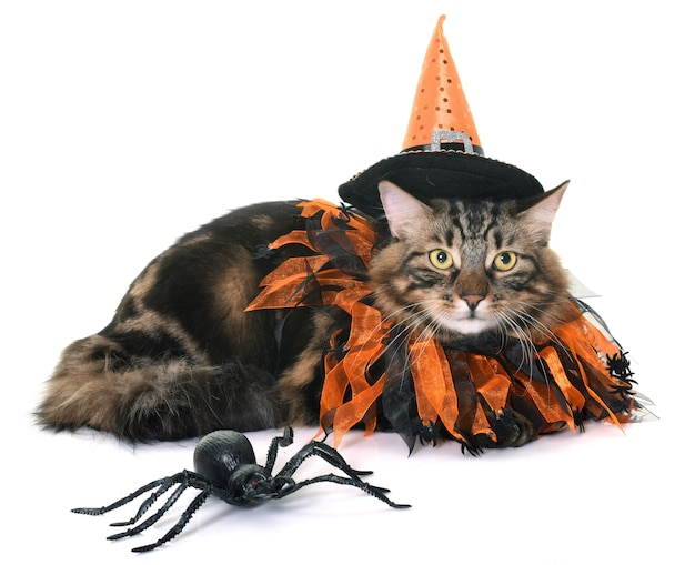 Maine coon cat e o dia das bruxas Foto Premium