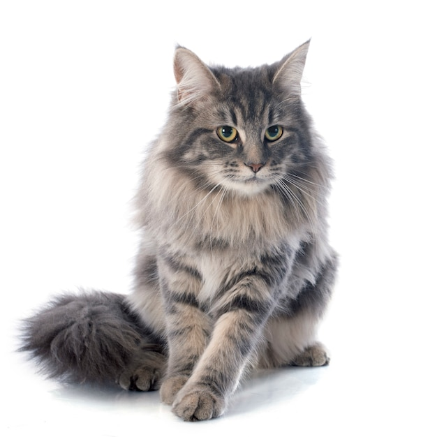 Maine coon cat Foto Premium