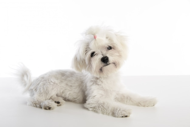 Maltichon cachorrinho bichon maltês em branco Foto Premium