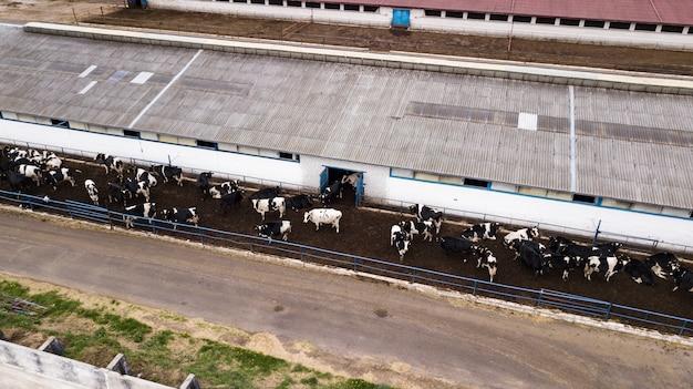 Manada de vacas na fazenda vista do zangão Foto Premium