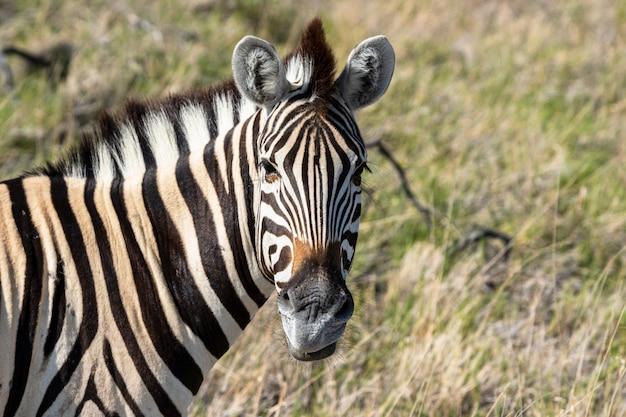 Manada de zebra comendo vidro campo no parque nacional de etosha, namíbia Foto gratuita
