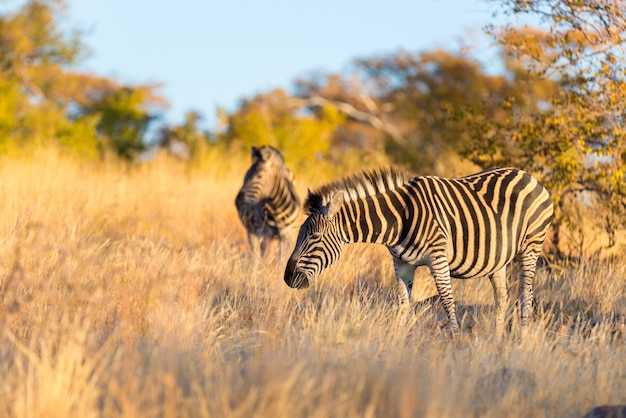 Manada de zebras no mato Foto Premium