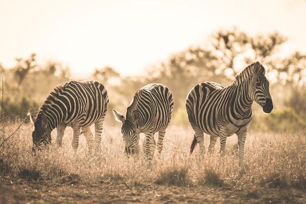 Manada de zebras pastando no mato. safari da vida selvagem no parque nacional kruger, principal destino de viagem na áfrica do sul. imagem enfraquecida, velho estilo retro vintage. Foto Premium