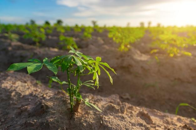 Mandioca no campo da mandioca com luz ajustada do sol Foto Premium
