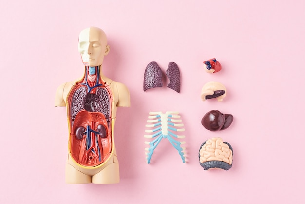 Manequim de anatomia humana com órgãos internos em uma vista superior de fundo rosa Foto Premium