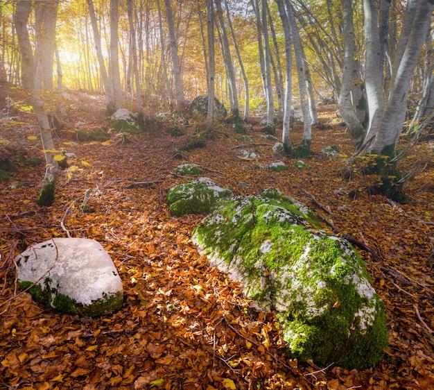 Manhã na floresta de outono. Foto Premium