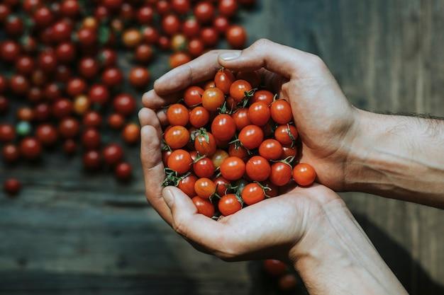 Mão cheia de tomates cereja orgânicos frescos Foto gratuita