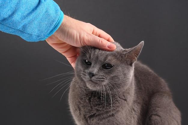 Mão de homem acariciando o gato cinza Foto Premium