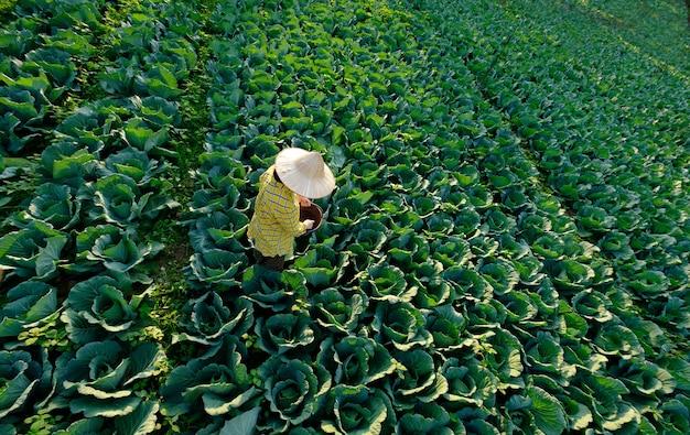 Mão de jardineira dando fertilizante químico para planta vegetal de repolho na plantação Foto Premium