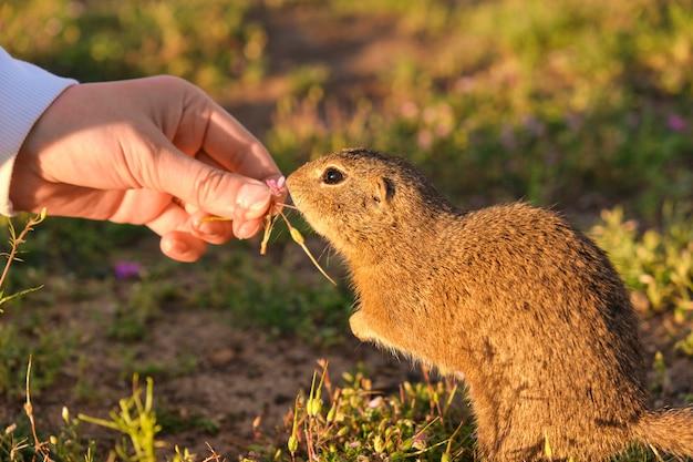 Mão de mulher closeup alimentando um esquilo à terra. gopher engraçado no campo ao pôr do sol Foto Premium