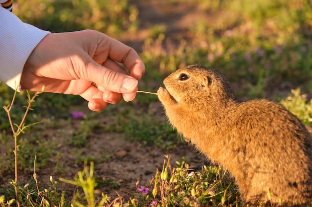 Mão de mulher closeup alimentando um esquilo à terra Foto Premium