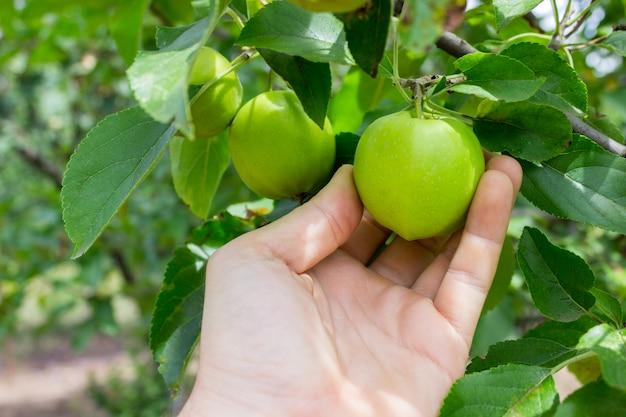 Mão do jardineiro que escolhe a maçã verde. mão alcança as maçãs na árvore Foto Premium