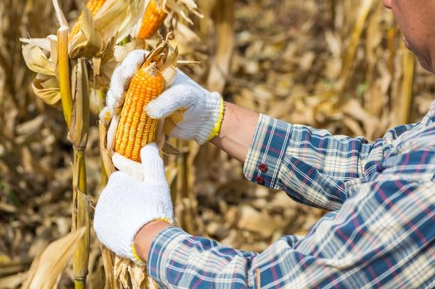 Mão, ou, macho, ou, agricultor homem, segurando, ou, colher, espiga milho, ligado, planta Foto Premium