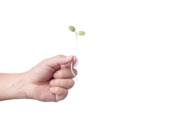 Mão segurando o broto de girassol jovem verde fresco para fazer comida Foto Premium