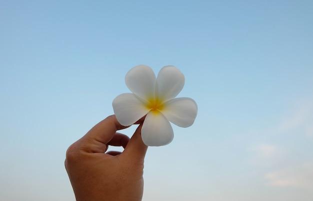 Mão segurando o plumeria branco, flor tropical frangipani contra o céu azul Foto Premium