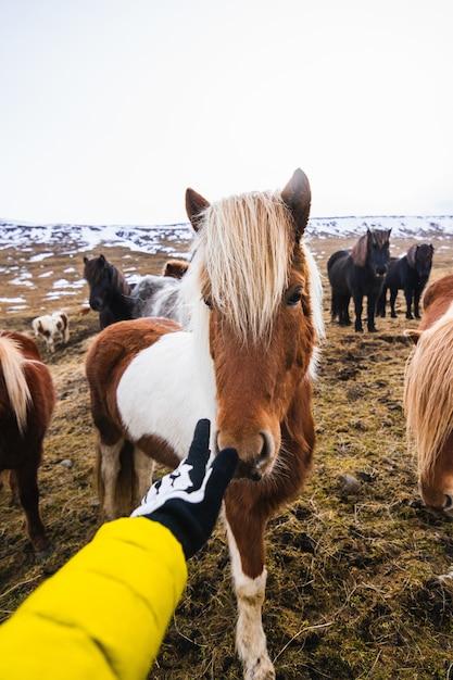Mão tocando um pônei shetland cercado por cavalos e vegetação com um fundo desfocado Foto gratuita