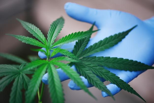 Mão tocar a maconha deixa a planta cannabis árvore que cresce no fundo escuro Foto Premium