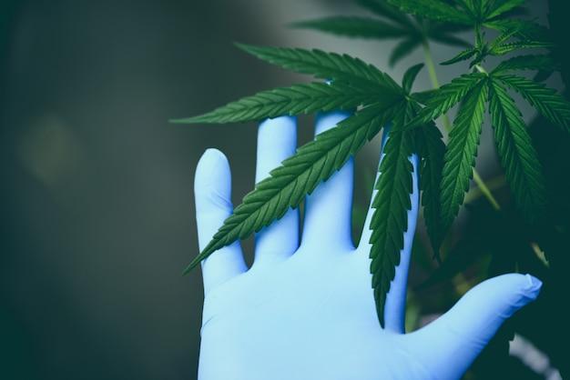 Mão, toque, marijuana sai, cannabis, planta, árvore, crescendo, ligado, verde Foto Premium