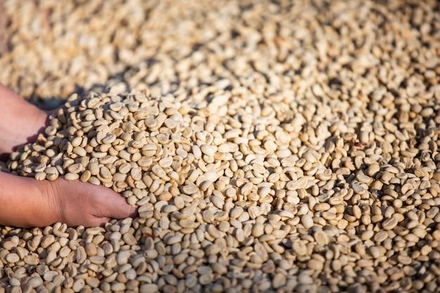 Mãos com grãos de café em grãos de café que são secos Foto gratuita