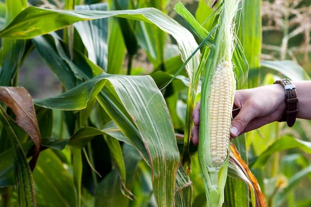Mãos da mulher do fazendeiro que guardam o milho verde fresco no campo de milho. Foto Premium