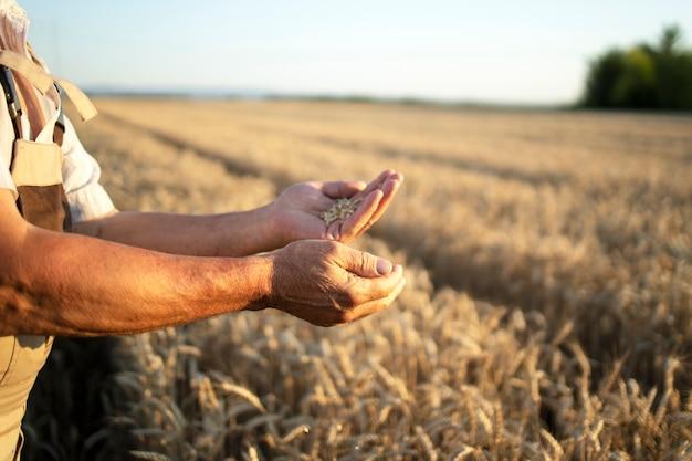 Mãos de agricultores e safras de trigo no campo Foto gratuita